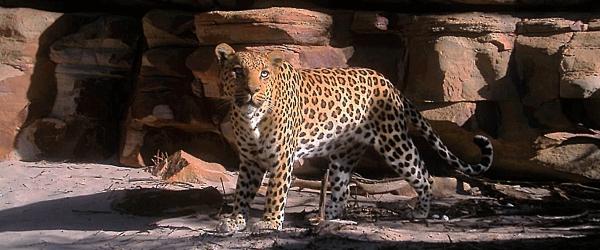 Wildlife Cederberg Conservancy South Africa Western Cape